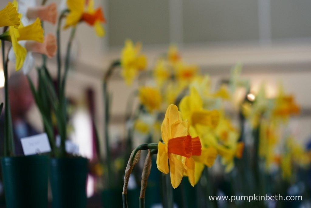 Daffodil Shows are a great way to celebrate the beauty of these very special spring flowers. Visiting a Daffodil Show is a lovely way to spend an afternoon, and the perfect way to choose new varieties of daffodils to grow in your own garden, it's also a lovely way to make new friends.