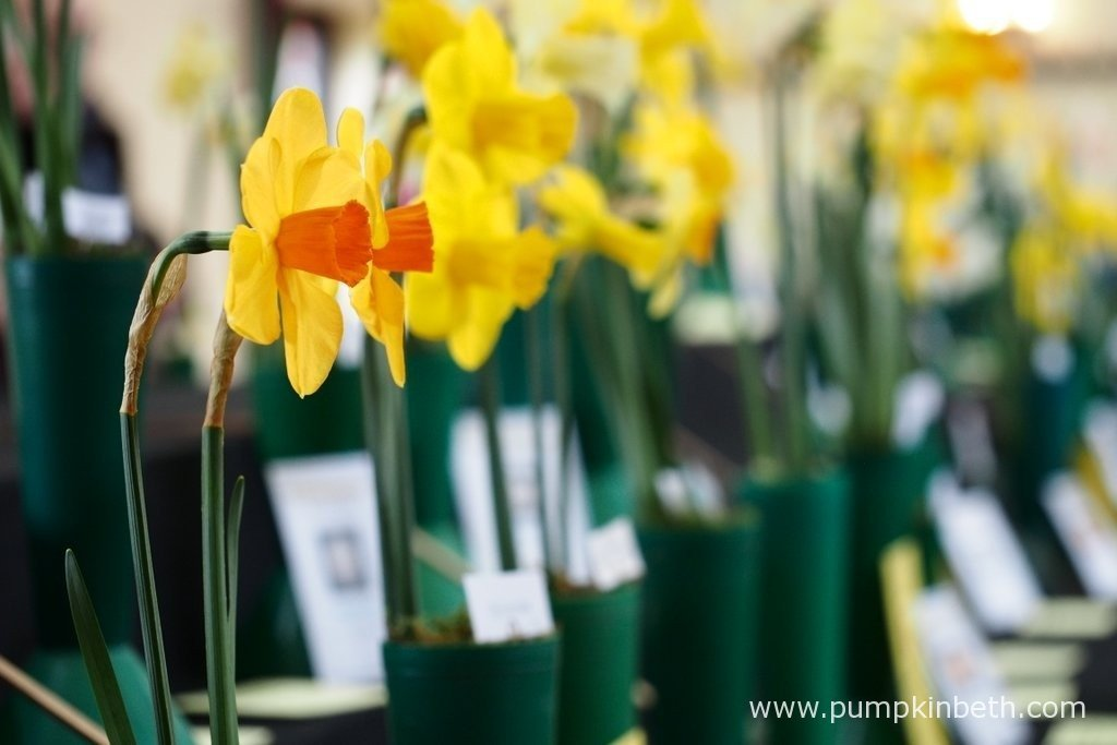 The Daffodil Society Mid Southern Group Spring Show at Cobham is a wonderful show, and a great place to see a variety of different daffodil cultivars.