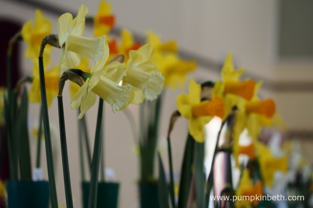 The Daffodil Society Mid Southern Group Spring Show was held at Cobham Village Hall, on the 27th March 2016.