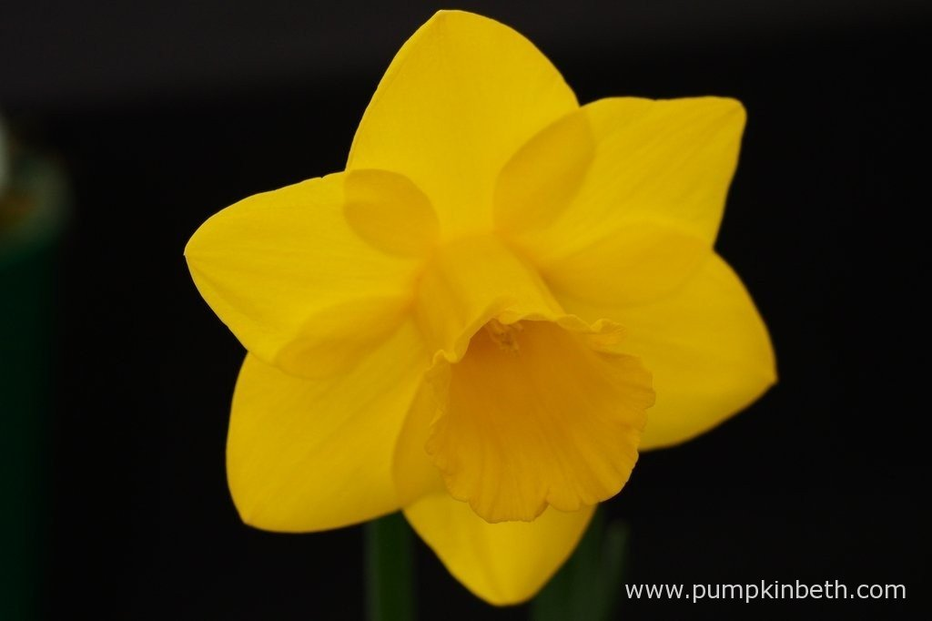 John Goddard was awarded first prize in class 8, and Best Bloom in the Member's Classes 6 to 28, for this example of Narcissus 'Golden Choice', at The Daffodil Society Mid Southern Group's Spring Show 2016.