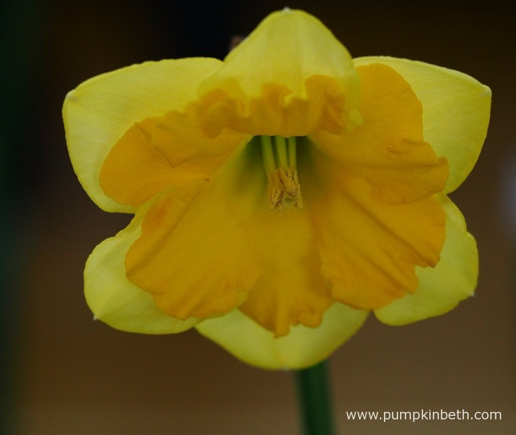the daffodil society mid southern group spring show 2016 pumpkin robin couchman presented this example of narcissus gold lake a narcissus from division