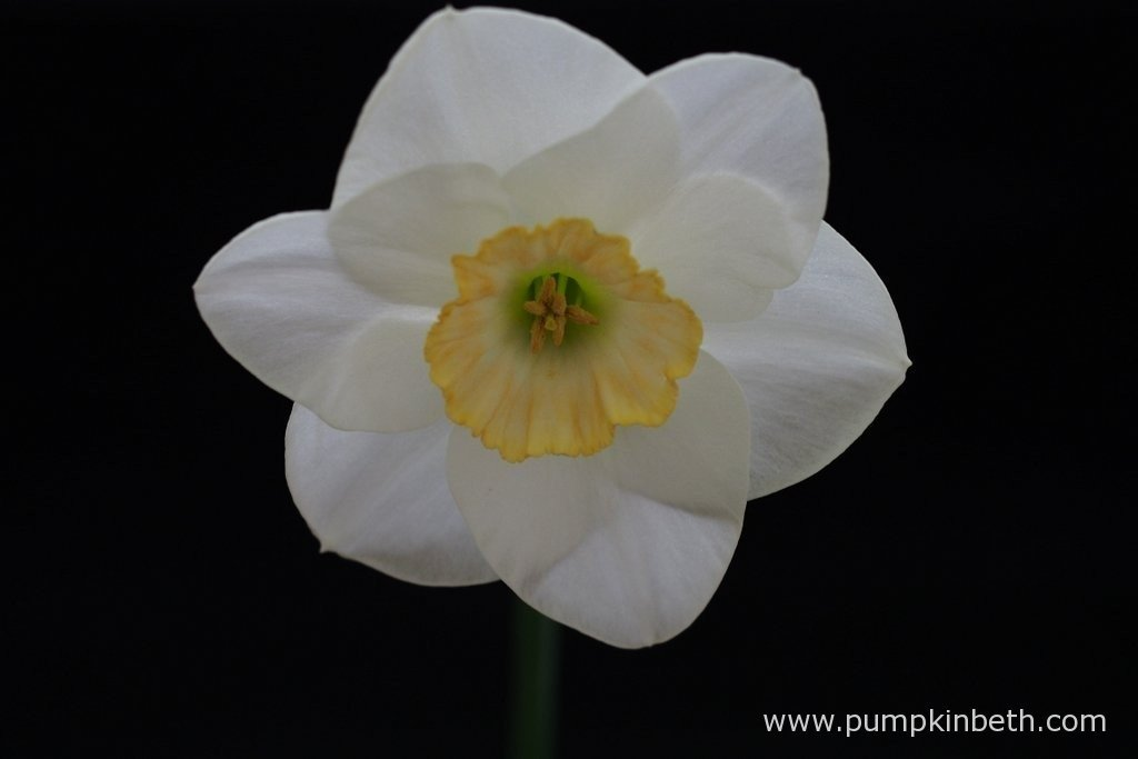 T. Richardson was awarded first prize at The Daffodil Society Mid Southern Group Spring Show for this lovely example of Narcissus 'Truculent'.