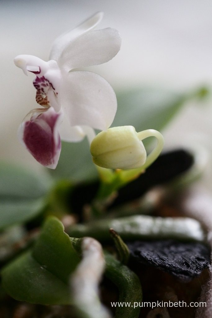 Phalaenopsis parishii, pictured on the 9th April 2016 inside my Miniature Orchid Trial BiOrbAir Terrarium. This miniature Phalaenopsis has large, attractively marked flowers.