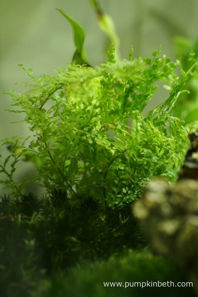 Nephrolepis exaltata 'Fluffy Ruffles', as pictured on the 9th April 2016, inside my BiOrbAir terrarium. I haven't needed moved this, or any of the three ferns that are growing inside this terrarium to accommodate my new plants. All of the ferns, including this Nephrolepis exaltata 'Fluffy Ruffles', were included in my original planting of this terrarium back in September 2014. Since then all three of the ferns have been moved around a number of times, despite this, they have always grown well inside this terrarium.
