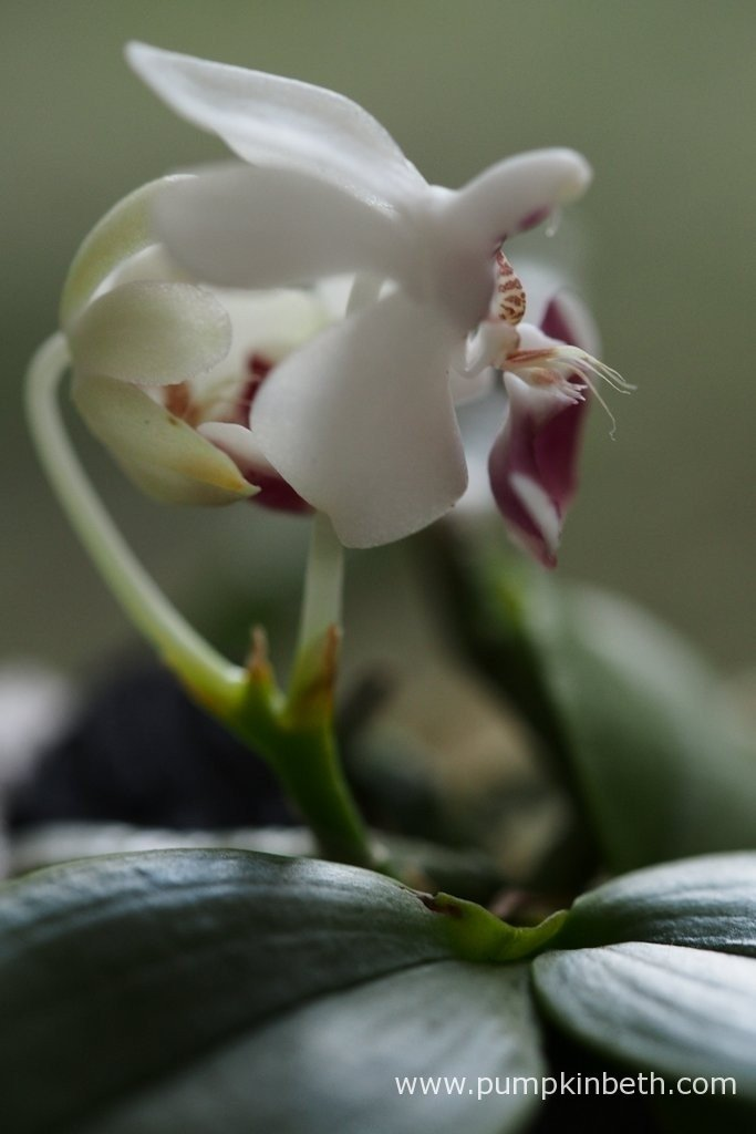 Pictured on the 11th April 2016 - the second of the Phalaenopsis parishii flowers began to open today. This miniature Phalaenopsis really is a beautiful plant, with stunning flowers. I am so happy to have been able to include it in my trial.