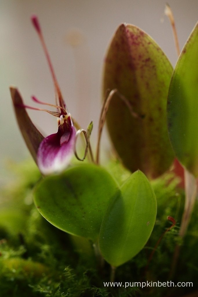 Restrepia seketii in flower, inside my BiOrbAir terrarium, on the 12th April 2016. Restrepia seketii is a cool growing, epiphytic, miniature orchid that originates from cloud forests in Colombia.