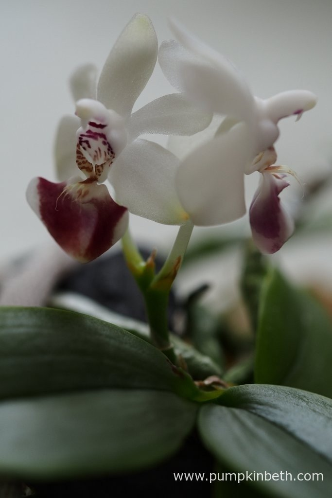 The new Phalaenopsis parishii flower had fully opened by the following day - 12th April 2016. Phalaenopsis parishii is a deciduous plant in its native environment, in cultivation however, without the distinct changes in the seasons, it is usually evergreen. Phalaenopsis parshii is usually found on moss covered branches overhanging streams - in humid environments. I hope this miniature orchid will grow well inside my BiOrbAir terrarium.