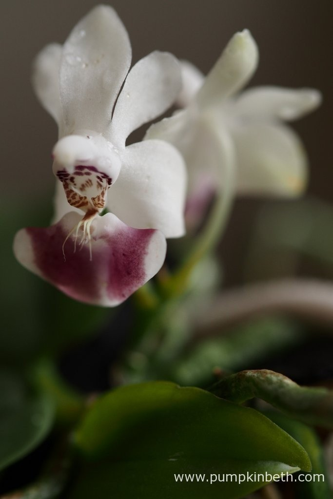 Phalaenopsis parishii flowering on the 12th April 2016. This miniature Phalaenopsis has rather elongated, flattened roots. Phalaenopsis parishii is a charming little orchid, which I am delighted to include in this trial.
