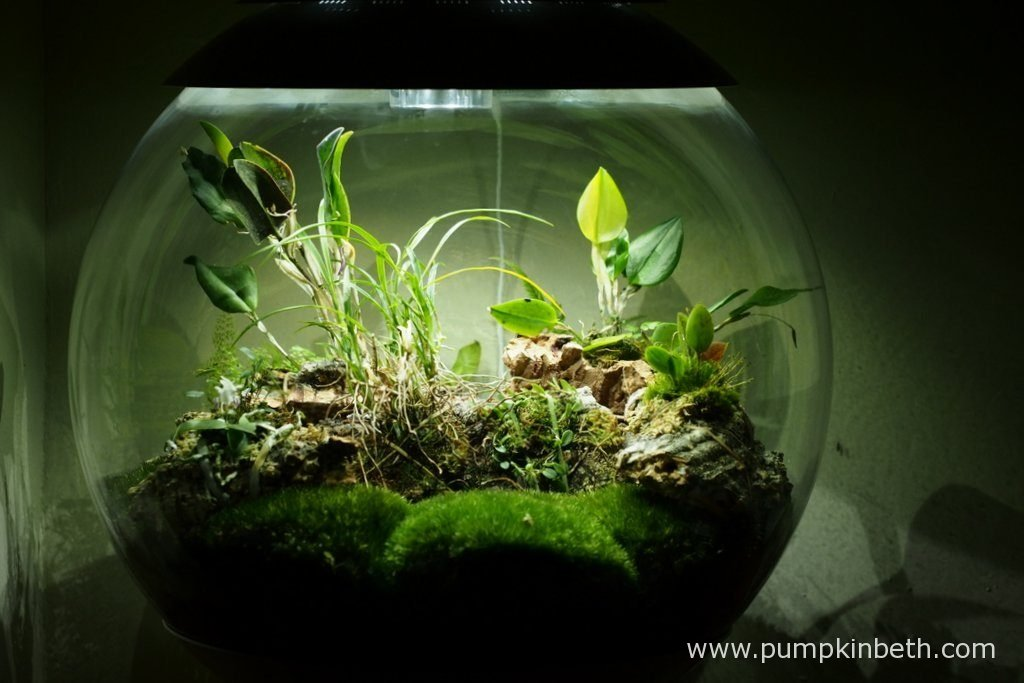 Here's my BiOrbAir terrarium, as pictured on the 6th May 2016. I've been rather lax and I haven't misted my orchids as much as they, the Restrepias in particular, would have liked. As a consequence, the flower bud on my Restpreia sanguinea is looking limp and lifeless. My Restrepia purpurea 'Rayas Vino Tinto' also has a slightly limp bud. I will try to make amends and will endeavour to mist my orchids this week. Restrepias, I find, tend to be happiest when they are misted frequently, and receive a lot of moisture. If I had paid more attention to these Restrepias and had just spent a couple of minutes misting them a few times this week, I would have had two beautiful flowers to have photographed this evening.
