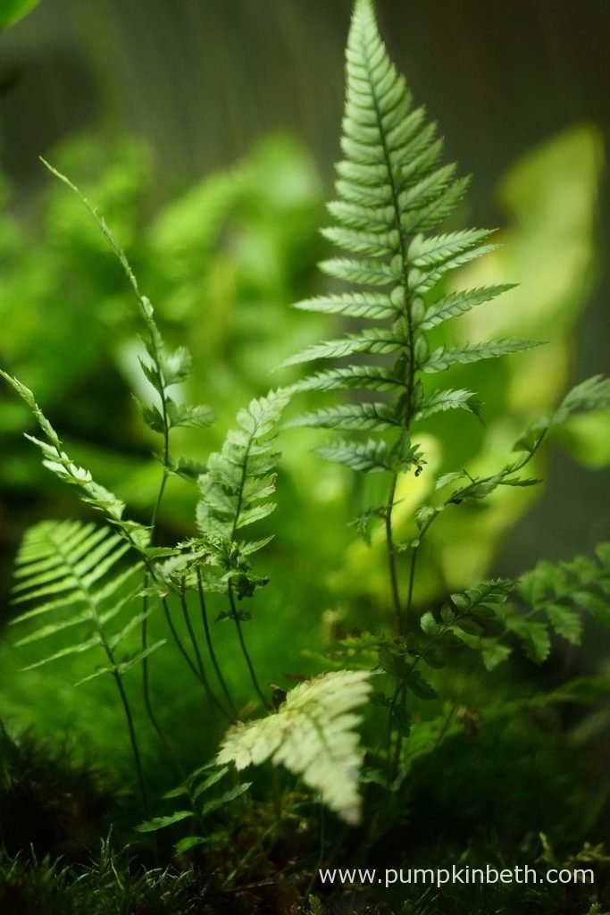 Here's my Polystichum tsussimense, as pictured on the 10th May 2016, inside my BiOrbAir terrarium. This is another fern that was included in my original planting of this terrarium in September 2014, since then this Polystichum tsussimense has been moved, divided, and then moved a number of times more. This fern has been a super addition to this terrarium.