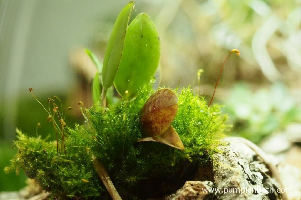 As was to be expected, this delightful miniature Restrepia - Restrepia seketii, has for the moment stopped flowering. Pictured on the 10th May 2016, inside my BiOrbAir terrarium.