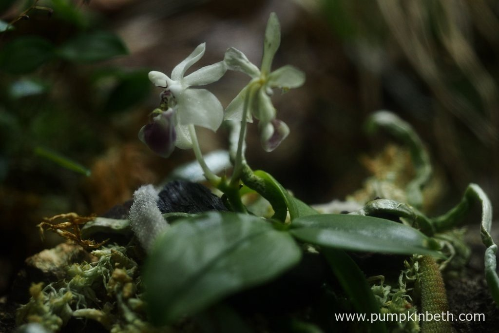 Here's another look at my Phalaenopsis parishii, as pictured inside my BiOrbAir terrarium on the 12th May 2016. The older flower, on the right hand side of the picture, is fading, but thankfully we still have the younger flower, on the left hand side, to enjoy.