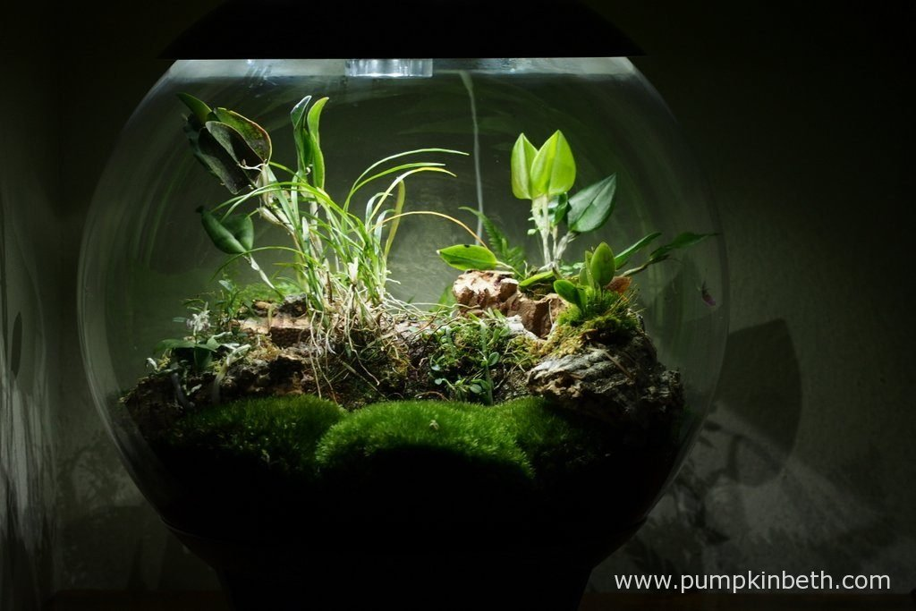 My BiOrbAir terrarium, as pictured on the 12th May 2016. Inside this terrarium, Restrepia purpurea 'Rayas Vino Tinto' and Phalaenopsis parishii are in full flower, and the flowers of Lepanthopsis astrophora 'Stalky' are just finishing.