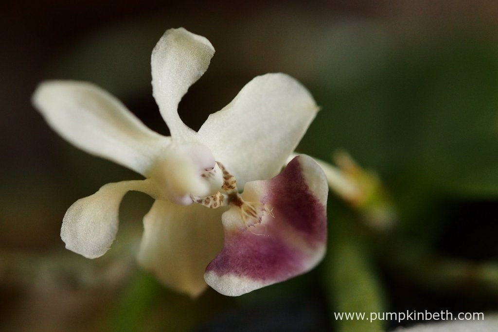 Here's a closer look at my Phalaenopsis parishii flower. I removed the faded, older flower today. I am concerned as to whether this orchid is happy. I am in love with this dear little Phalaenopsis, and so I desperately want it to thrive and be happy. As pictured on the 14th May 2016, inside my BiOrbAir terrarium.