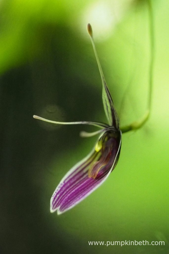 Here's a look at the Restrepia purpurea 'Rayas Vino Tinto' inflorescence, as pictured on the 15th May 2016, inside my BiOrbAir terrarium. I have looked at the flowers of Restrepia purpurea and the flowers of Restrepia purpurea 'Rayas Vino Tinto', and I can see no distinguishable difference between these varieties of Restrepia.