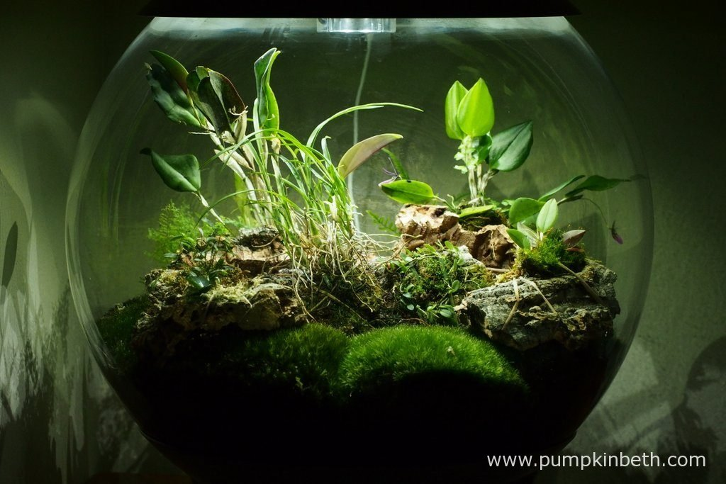 Here's my BiOrbAir terrarium, as pictured on the 17th May 2016. Inside this terrarium, Restrepia purpurea 'Rayas Vino Tinto' is in flower, with three blooms open as this photograph was taken.