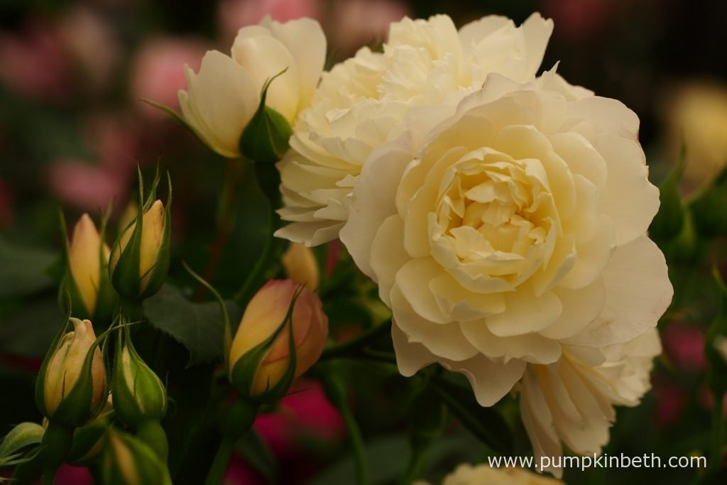 Rosa 'Imogen' a beautiful new introduction from David Austin Roses.