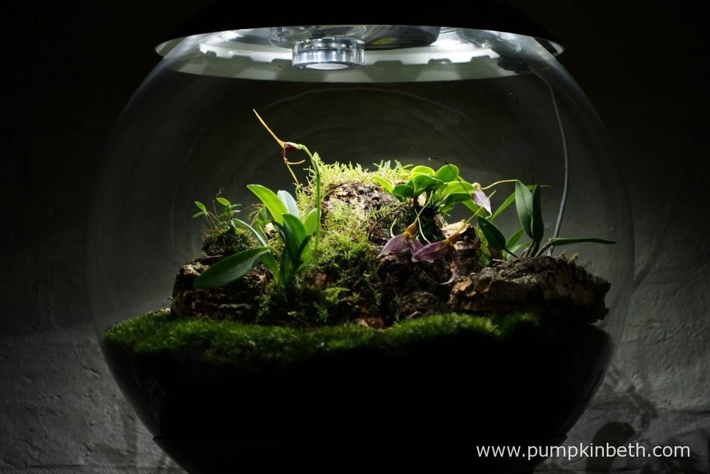 I decided to cut the large piece of cork, that had the Domingoa purpurea, the Masdevallia decumana, and the Angraecum equitans growing on, as I wanted to be able to remove the Domingoa purpurea from this terrarium and to move this orchid into a better position. Currently, as you can see, the Domingoa is still residing inside this terrarium, it's on the right hand side of the picture.