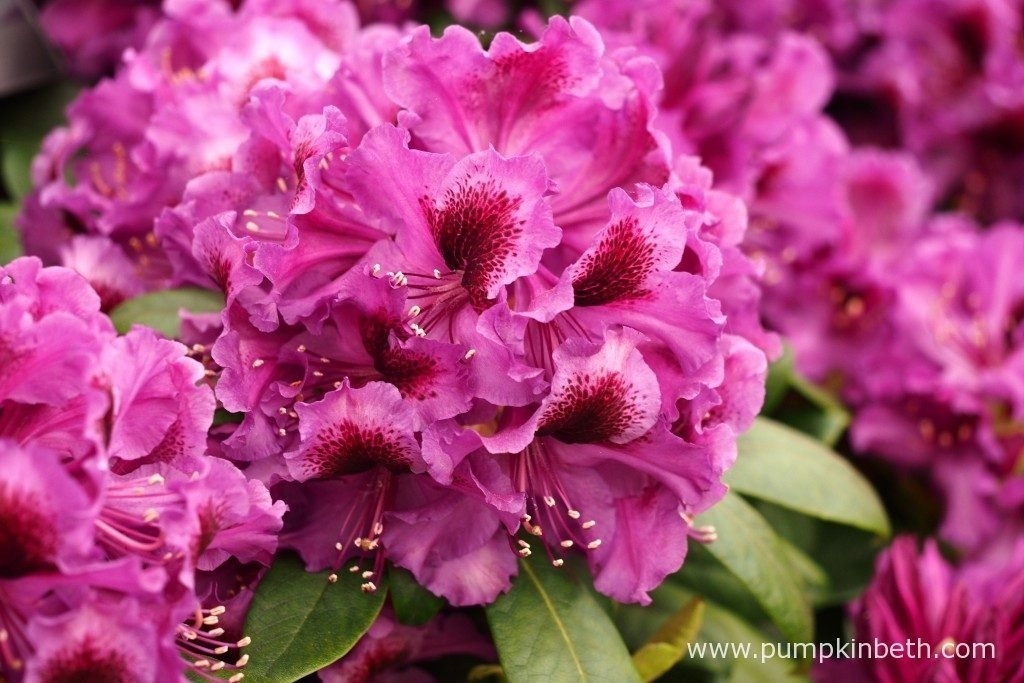 Rhododendron 'Orakel' is a new Rhododendron, it was launched by Millais Nurseries, at the RHS Chelsea Flower Show 2016.