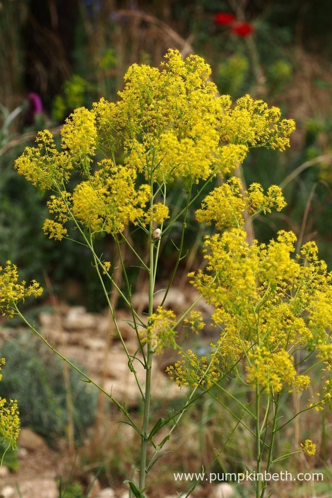 Isatis tinctoria, also known as woad, pictured in the L'Occitane Garden, at The RHS Chelsea Flower Show 2016. Can you spot the snail?