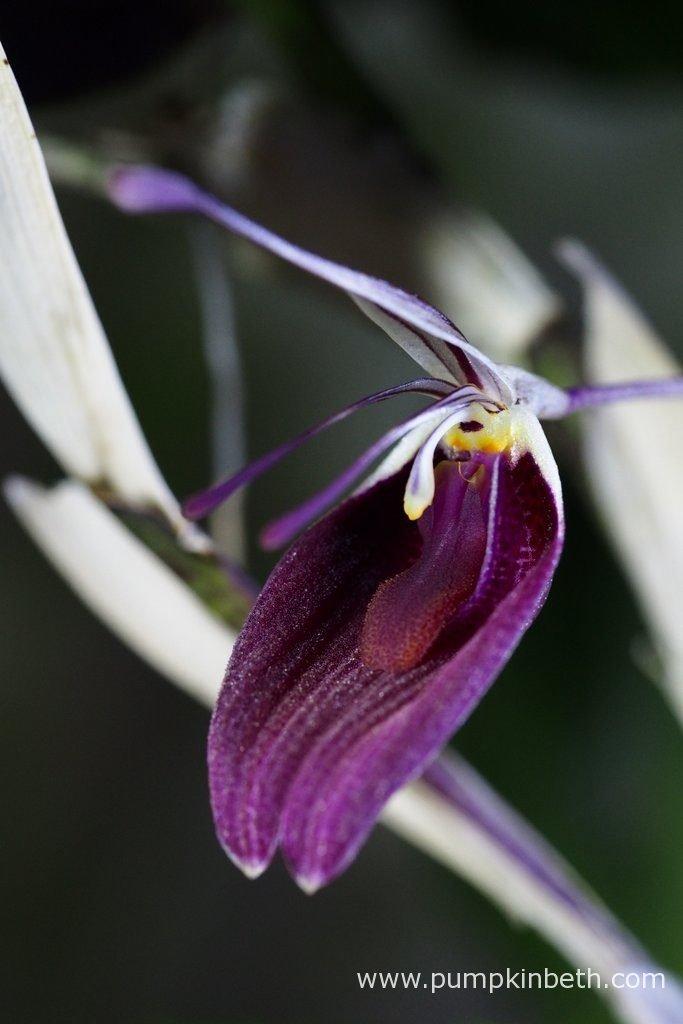 Restrepia sanguinea, pictured in flower on the 10th June 2016, inside my BiOrbAir terrarium.