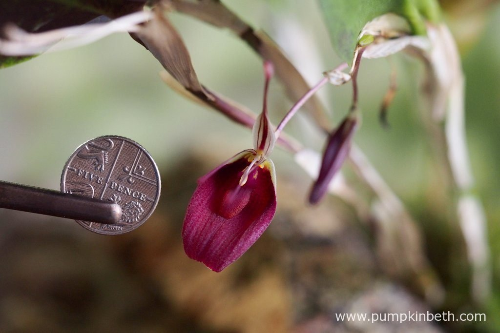 I have taken a photograph of the Restrepia sanguinea inflorescence with a British five-pence piece, to more clearly demonstrate the size of the flowers. As you can see in this photograph, which was taken on the 14th June 2016, there is another bud behind the open flower, which will open shortly, and a third flower bud - a newer bud, which is in the earliest stage of production, and is still green in colour.