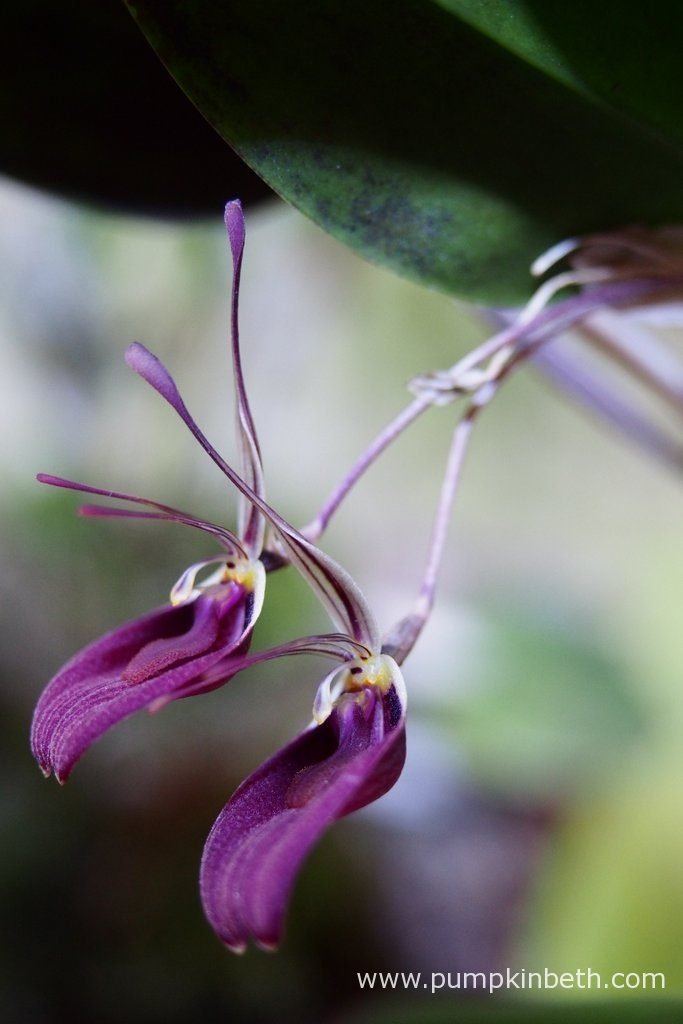It's wonderful to have both my Restrepia purpurea 'Rayas Vino Tinto', and my Restrepia sanguinea in flower at the same time. In this photograph, which was taken on the 28th June 2016, you can see that this particular Restrepia sanguinea leaf currently has two open flowers.