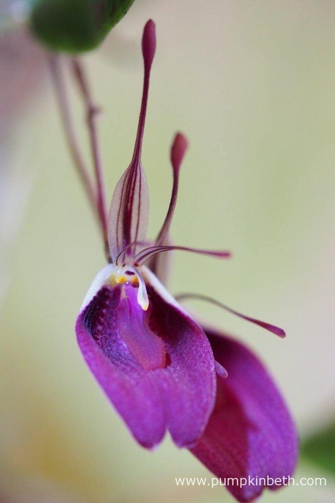 Restrepia sanguinea flowers, pictured on the 28th June 2016, inside my BiOrbAir terrarium.