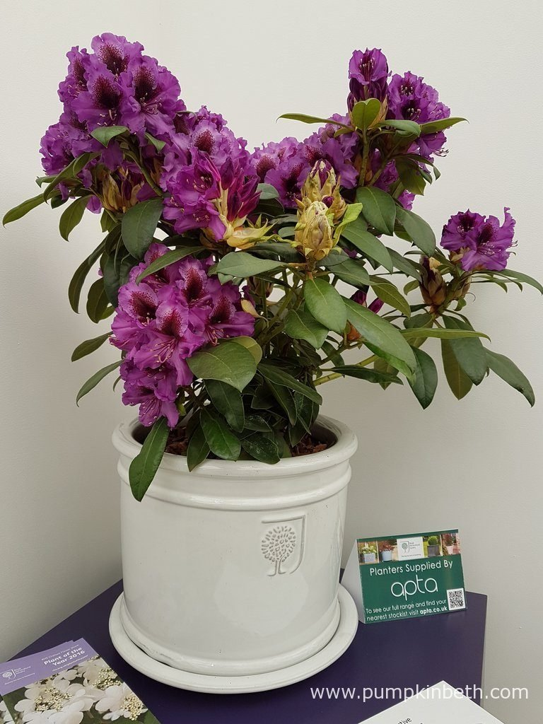 Rhododendron 'Hachmann's Orakel' was bred in Germany by Holger Hachmann.