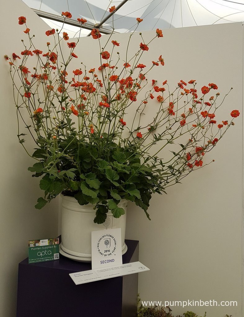 Geum 'Scarlet Tempest' came second in the RHS Chelsea Flower Show Plant of the Year 2016 Competition.