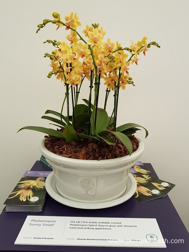 Phalaenopsis 'Sunny Smell'. Phalaenopsis are long-flowering plants that make a welcome addition to the home when grown as a house plant, and a super gift.