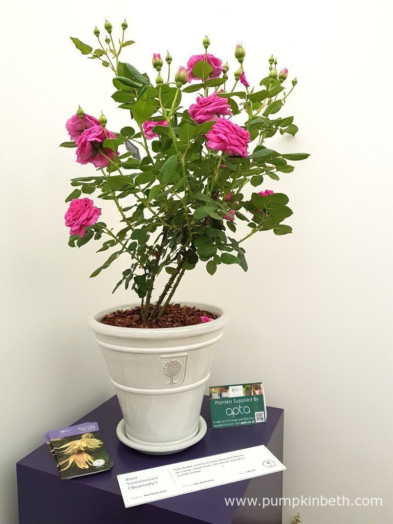 Rosa SANDRINGHAM ('Beamolly') can be grown in the ground or in a container.