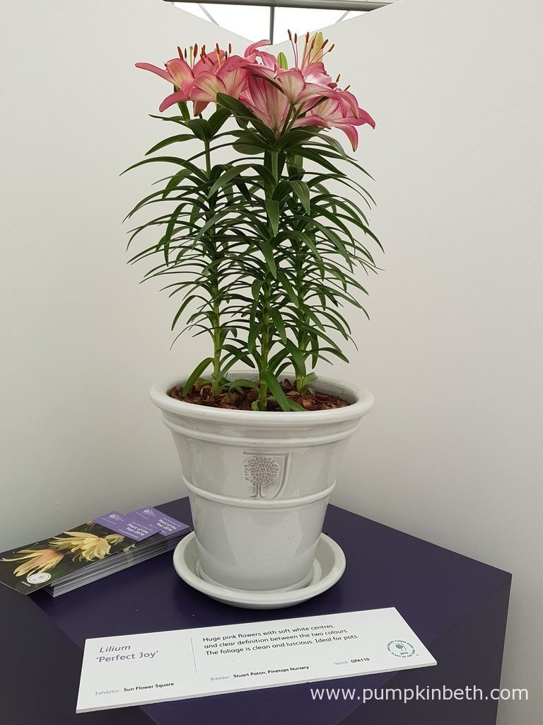 Lilium 'Perfect Joy' is a large flowered Lily, with healthy foliage, it is ideal for container growing.
