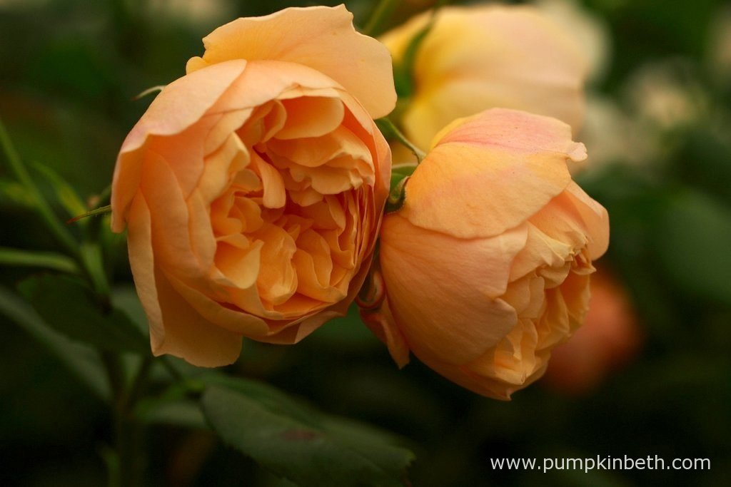Rosa ROALD DAHL ('Ausowlish') produces flowers are a soft orangey peach colour, the new buds being blushed with touches of red, which reminded the breeders, and Roald Dahl's wife Liccy Dahl, of the peach from Roald's famous story 'James and the Giant Peach'.