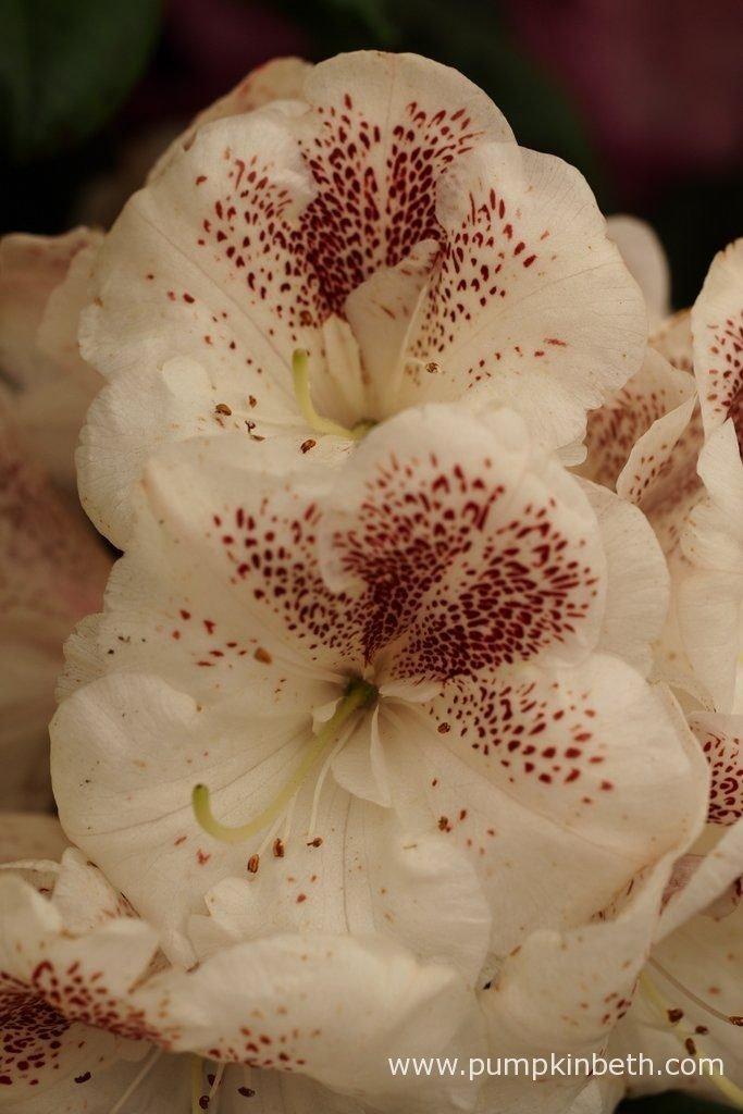Rhododendron 'Prinses Máxima' was bred by Tijs Huisman, and named after the Dutch Princess, Máxima Zorreguieta Cerruti.
