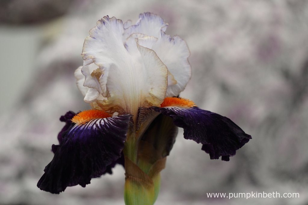 Iris 'Terre à Silex'. On average there are nine to eleven buds on each plant.