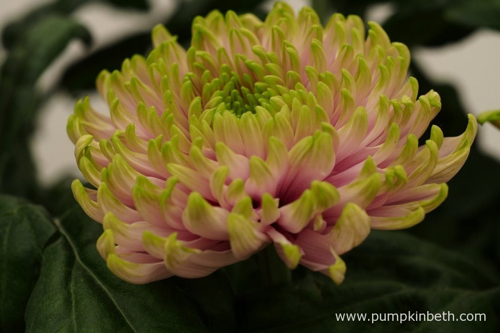Chrysanthemum 'Rossano Charlotte' (Rossano Series). Named in honour of HRH Princes Charlotte of Cambridge, Chrysanthemum 'Rossano Charlotte', has striking flowers - the ray petals are a sugary pink colour, tinged with lime green at their tips.