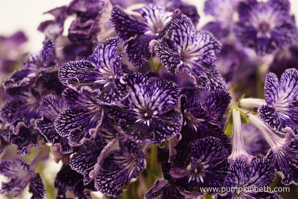 Streptocarpus 'Amy' is an ideal choice for a houseplant. It's a floriferous plant, that produces flowers for eight months of the year in a very small space.