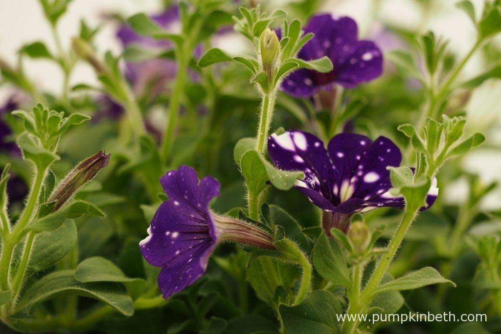 Petunia NIGHTSKY ('Kleph15313').