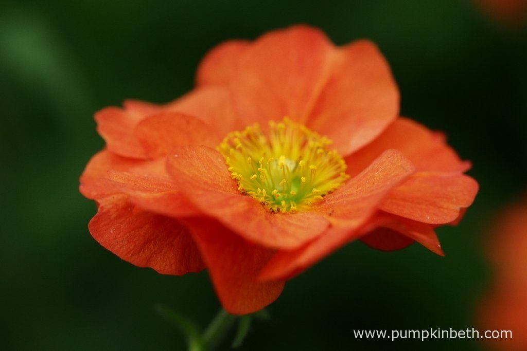 Geum 'Scarlet Tempest' has semi-double warm, vibrant orange-red flowers, which are great for attracting bees, butterflies, and other pollinating insects to your garden.