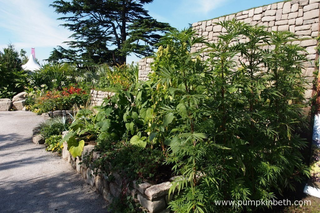 The Journey Latin America's Inca Garden at the RHS Hampton Court Palace Flower Show 2016, featured a three-tiered terrace, designed to represent the famous terraces of Machu Picchu. Traditional Inca food crops were a feature in the garden, including Quinoa, Oca, Physalis peruviana, courgettes, and potatoes.