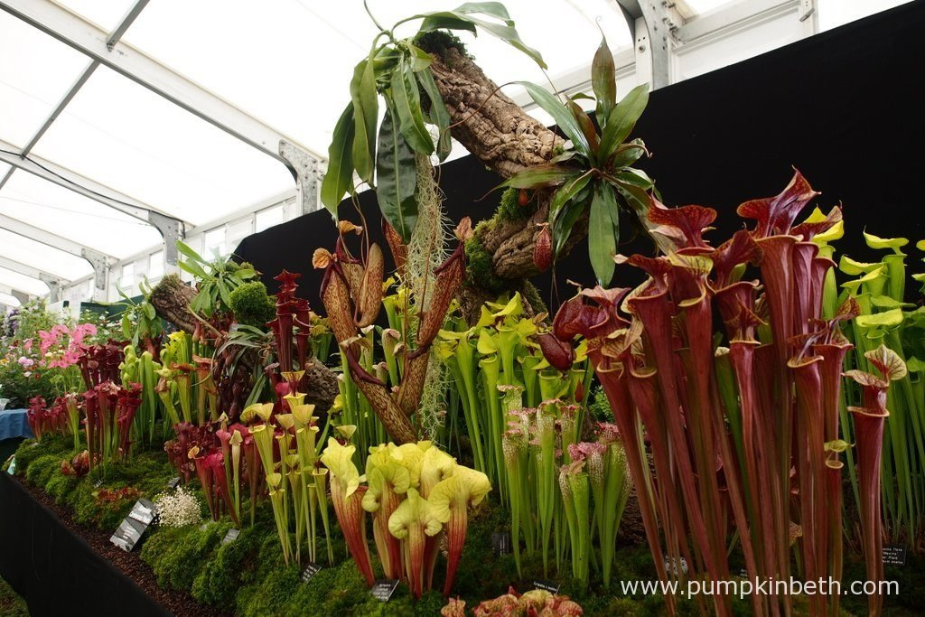 Hampshire Carnivorous Plants created a wonderful display of Sarracenia, Nepenthes, Heliamphora, and other carnivorous plants from around the world, for the RHS Hampton Court Palace Flower Show 2016.