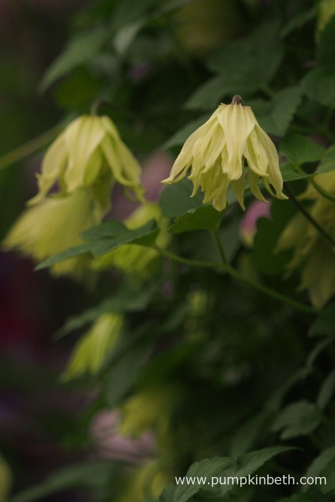 Clematis koreana AMBER ('Wit141205') is a very special, fully hardy, Clematis, it produces yellow-cream double flowers from early May until mid-June, with the added bonus of a second, smaller flush of flowers in September.