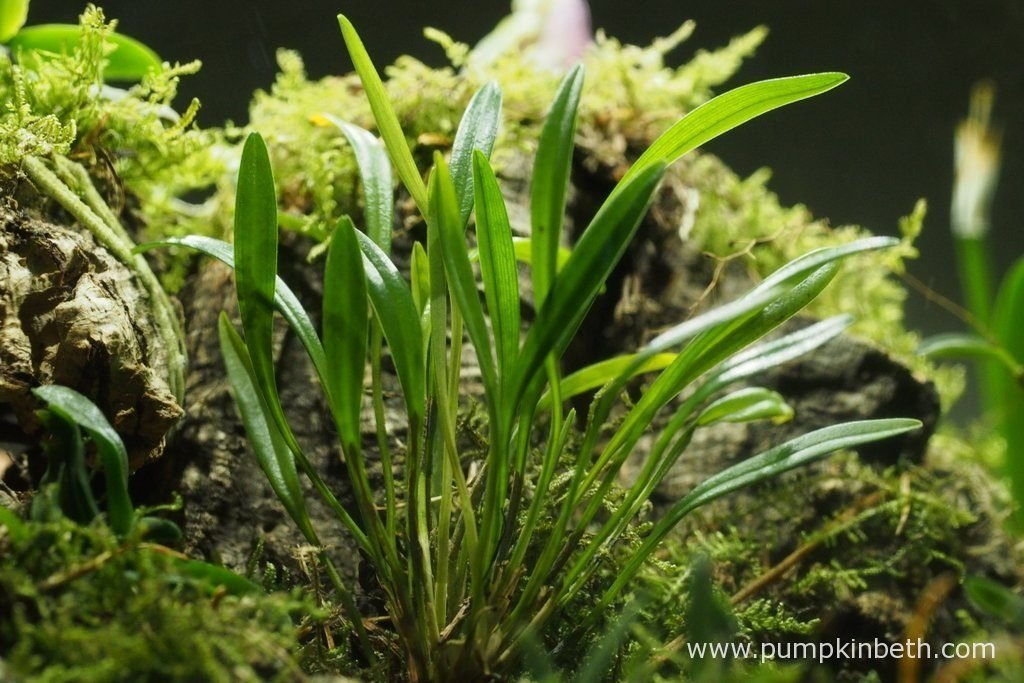 Dryadella simula, as pictured on the 8th July 2016, inside my Miniature Orchid Trial BiOrbAir Terrarium.