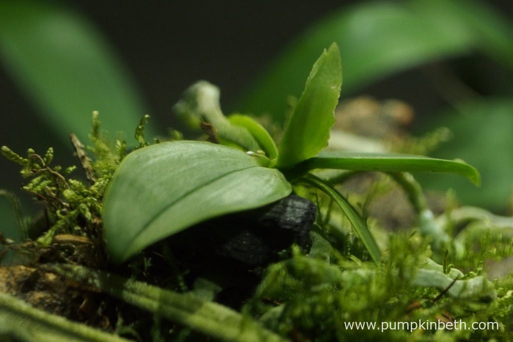 It's such a shame to see how chewed the new leaf of my Phalaenopsis parishii is! Pictured on the 8th July 2016, inside my Miniature Orchid Trial BiOrbAir Terrarium.