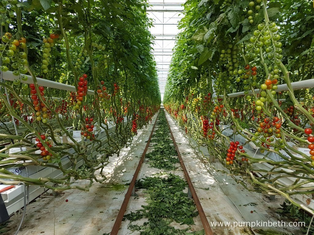 The detritus of cut tomato leaves are intentionally left on the ground when they are newly cut, to allow any beneficial insects time to crawl back onto the actively growing tomato plants. Rows of cherry tomatoes growing inside the glasshouses at Eric Wall Ltd in Barnham, Chichester, West Sussex.