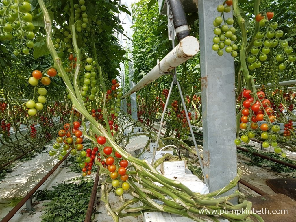 A closer look at the cherry tomato plants growing inside the glasshouses at Eric Wall Ltd. In this picture you can see the F1 hybrid, grafted plants, which are grown as double cordons, in Rockwool, an absorbent material, best known for it's use in sound-proofing and insulation.