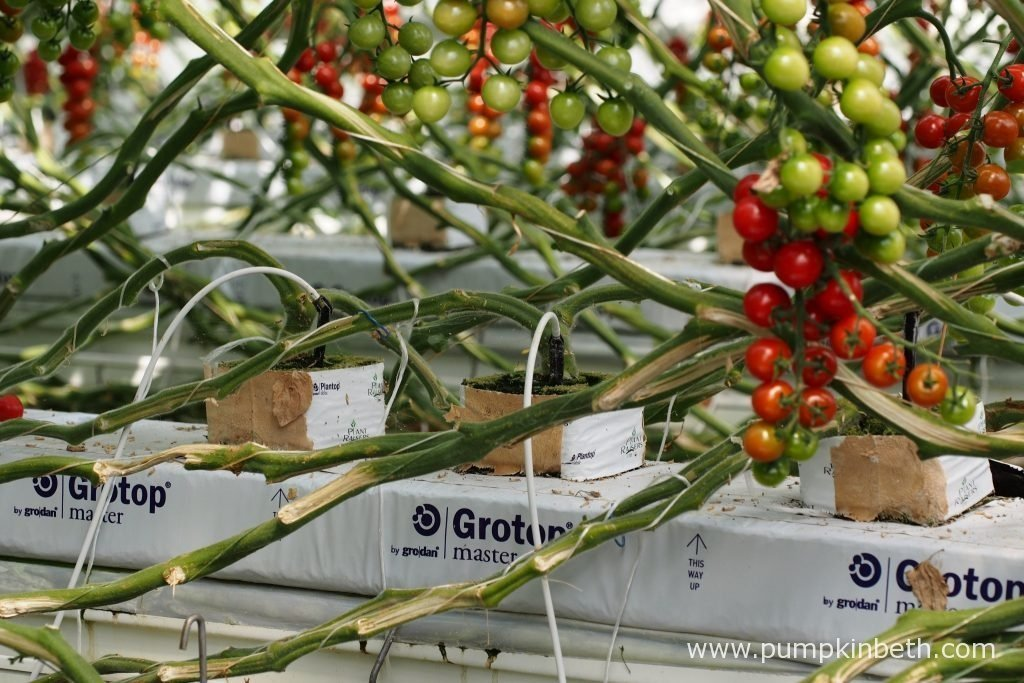 A closer look at the base of the cherry tomato plants, growing inside the glasshouses, at Eric Wall Ltd, in Barnham, Chichester, West Sussex. The tomato plants are fertilised using a drip feed irrigation system, which operates during daylight hours.