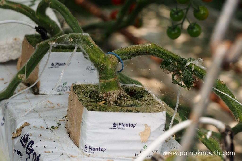 Early on in the tomato plant's life, the cotyledon leaf is pinched out, this action encourages the grafted F1 tomato plants to produce two shoots, both of which will produce tomatoes, and will be grown using the cordon growing method.
