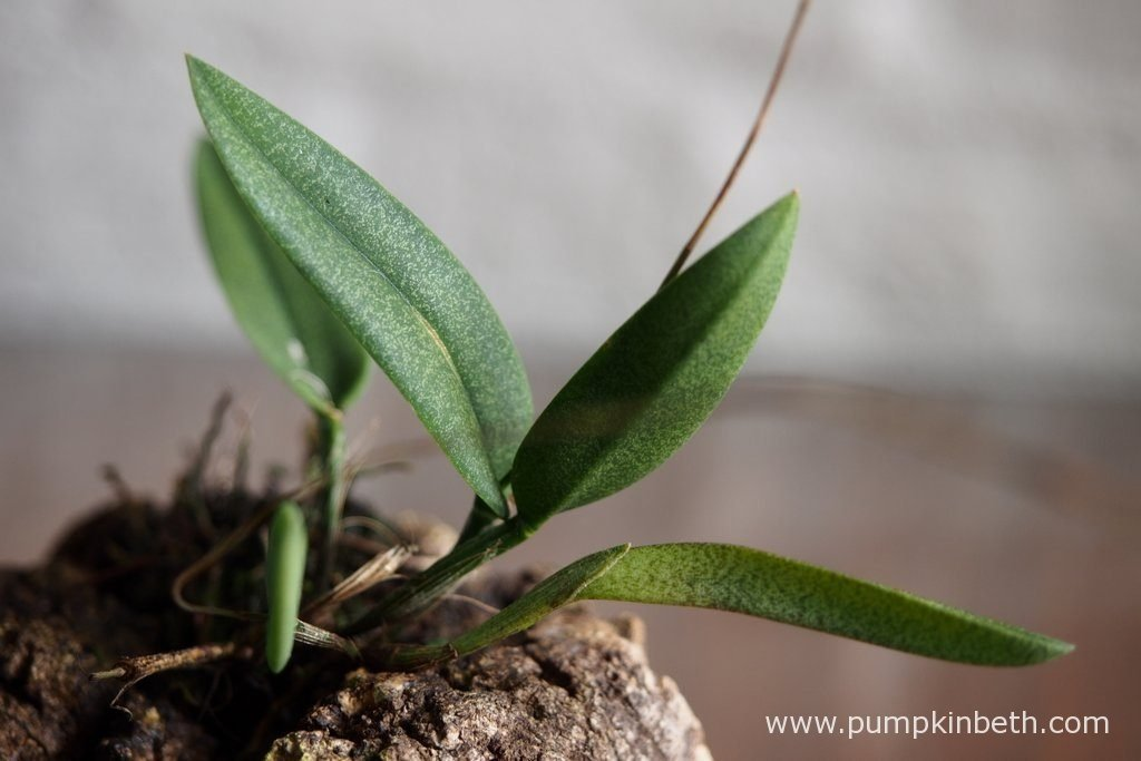 A closer look at the leaves of Domingoa purpurea, pictured on the 13th August 2016.